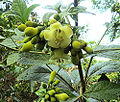 Macrocarpaea sodiroana (13897906007).jpg