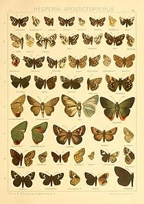 Macrolepidoptera01seitz 0179.jpg