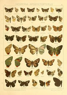 <i>Aeromachus</i> genus of insects