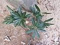 Madhuca longifolia-3-kalakkad-tirunelveli-India.jpg
