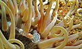 Magnificent Partner Shrimp (Ancylomenes magnificus) (8466073814).jpg