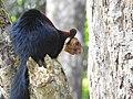 Malabar Giant Squirrel DSCN0192.jpg