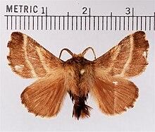 Male & Eastern tent caterpillar - Wikipedia