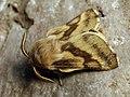 Malacosoma castrense ♂ - Ground lackey (male) - Молочайный коконопряд (самец) (41004265461).jpg