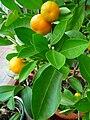 Mandarinenbäumchen.JPG