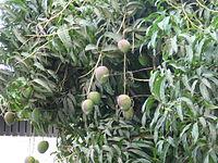 Mangifera indica 0001