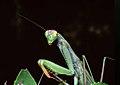 Mantis religiosa detail.jpg