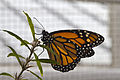 Mariposa monarca (Danaus plexippus), Jardín Botánico de Múnich, Alemania, 2013-01-27, DD 02.JPG