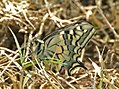 Mariposa rey - papallona rei - papilio machaon (554177349).jpg