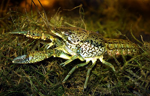 Marmorkrebs Procambarus fallax forma virginalis