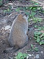 Marmot at Saint Helen's Island in Montreal 10.jpg