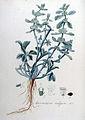 Marrubium vulgare — Flora Batava — Volume v9.jpg