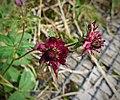 Marsh Cinqufoil. Potentilla palustris (27742275149).jpg