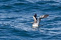 Masked Booby (5041603224).jpg