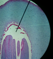 Mature Pine Embryo.png