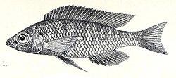 Mchenga eucinostomus.jpg