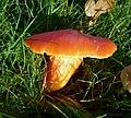 Meadow Waxcap. Hygrocybe pratensis (49063945281).jpg