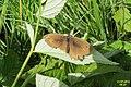 Meadow brown (m.) (NH) (7864660912).jpg