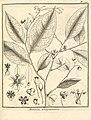 Meborea guianensis Aublet 1775 pl 323.jpg