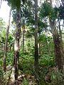 Melaleuca quinquenervia Livistona australis Wyrrabalong NP 3.jpg