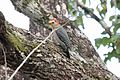 Melanerpes pygmaeus.jpg