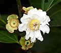 Melastomataceae (Bellucia grossularioides) (25216299757).jpg