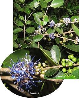<i>Memecylon</i> Genus of flowering plants