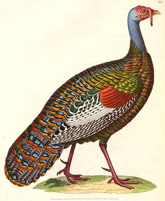 Ocellated turkey - Painting by Nicolas Huet the Younger