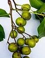 Melicoccus bijugatus, Fruits 02.jpg