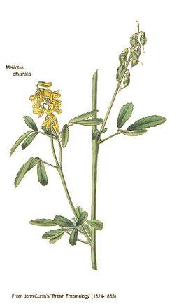 Melilotus officinalis-British Entomology