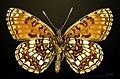 Melitaea diamina MHNT CUT 2013 3 27 Les Arques male ventral.jpg