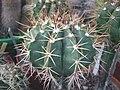 Melocactus depressus.jpg