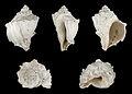Melongena corona fossil 01.JPG