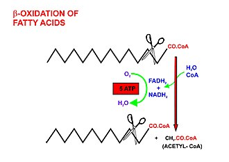 Fatty acid metabolism - A diagrammatic illustration of the process of the beta-oxidation of an acyl-CoA molecule in the mitochodrial matrix. During this process an acyl-CoA molecule which is 2 carbons shorter than it was at the beginning of the process is formed. Acetyl-CoA, water and 5 ATP molecules are the other products of each beta-oxidative event, until the entire acyl-CoA molecule has been reduced to a set of acetyl-CoA molecules.