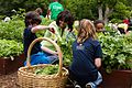 Michelle Obama harvests vegetables with students in the White House Kitchen Garden, 2013.jpg