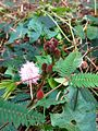 Mimosa pudica flower new 03.jpg