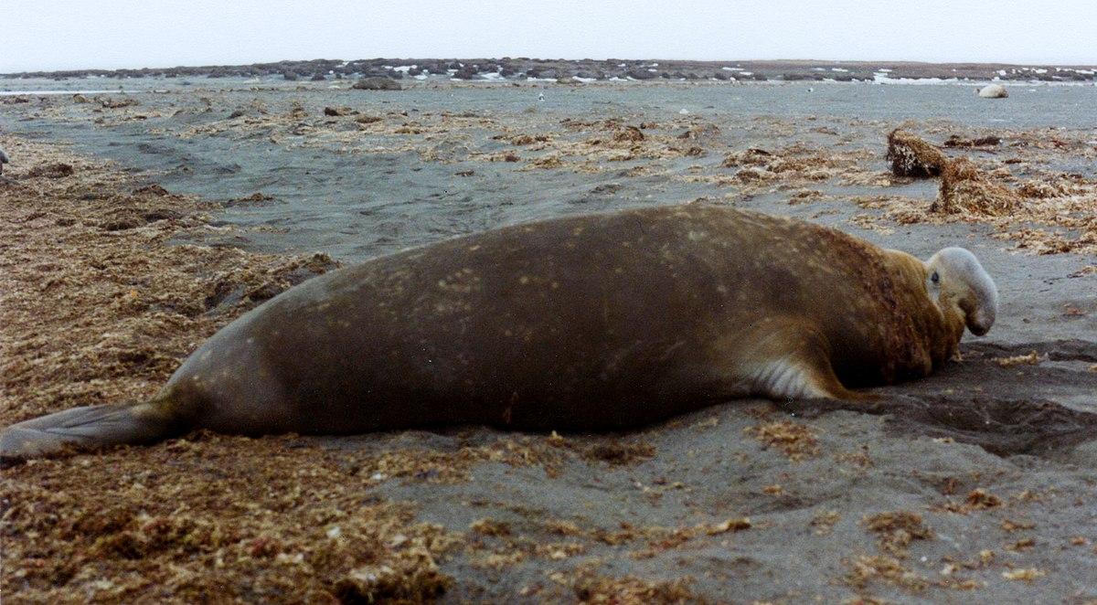 Gajah laut merupakan salah satu hewan laut terbesar di dunia