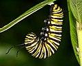 Monarch Caterpillar J-Shape (8409601670).jpg