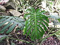Monstera deliciosa-yercaud-salem-India.JPG