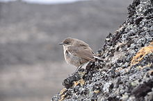 Moorland Chat at the Kilimanjaro moorland.JPG