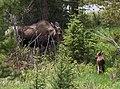 Moose & calf (2620393114).jpg