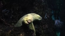 File:Moray Eels at the Shedd Aquarium, Chicago.webmhd.webm