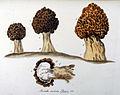 Morchella esculenta — Flora Batava — Volume v9.jpg