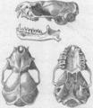 Mormopterus minutus Miller 1899.png
