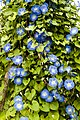 Morning Glories at small farm (2843771811).jpg