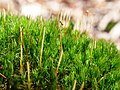 Moss on rock in the Taunus 2.jpg