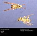 Moth mimics wasp. Trinidad (38272294721).jpg