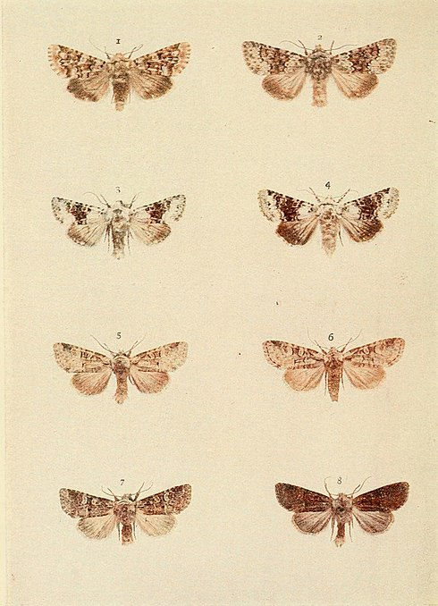 Moths of the British Isles Plate125.jpg
