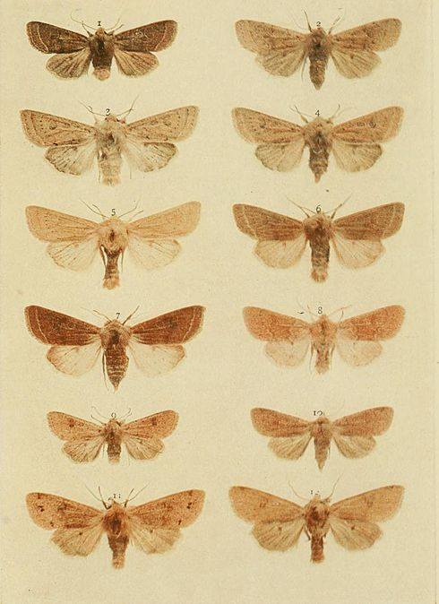 Moths of the British Isles Plate158.jpg