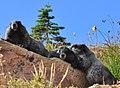 Mount Rainier - September 2017 - Hoary marmots 42 (cropped).jpg